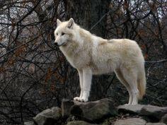 Alaskan Tundra Wolf, Budapest Zoo - Alaszkai fehér farkas (Canis lupus tundrarum) a Budapesti Állatkertben.