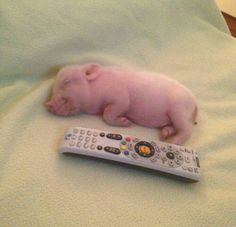 The world of cats and love – Gloria Love Pets - Baby Animals Cute Baby Pigs, Cute Piglets, Cute Babies, Baby Piglets, Baby Animals Pictures, Cute Animal Pictures, Cute Little Animals, Cute Funny Animals, Cute Puppies