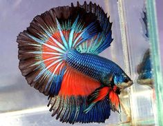 Red and blue fighting fish