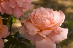Sweet Fragrance Rose recommended by Marci Martin, rosarian