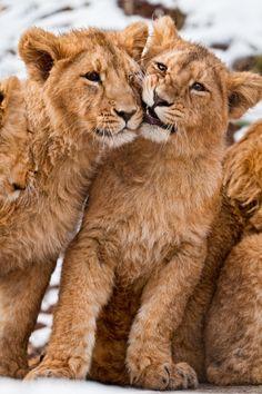 Lion Cubs Cute Big Cat Photography