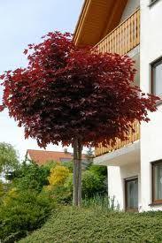 bolesdoorn Acer platanoides Crimson Sentry - Google zoeken