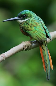 Rufous-tailed Jacamar, male:  These fantastic wee birds look like giant hummingbirds but in fact are distant relatives of woodpeckers.