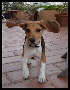 Look at those Beagle ears!