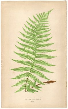 Antique botanical illustration of a fern