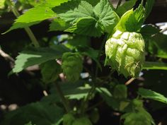 How to Identify Hops in Your Beer: Centennial, Columbus, Cascade