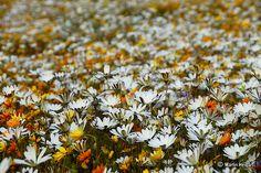 Namaqualand – South Africa's Daisy Sensation ~ Kuriositas Western Coast, Special Flowers, All Nature, Wild Flowers, South Africa, Fields, Flora, Succulents, Daisy
