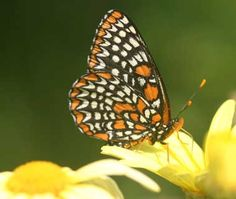Maryland State Insect - Baltimore Checkerspot Butterfly