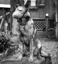 WW1 Red Cross Dog