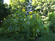 Building a sunflower house is an easy and rewarding project. The seeds of the giant varieties, when planted in a square or circle formation, create the perfect setting for a reading nook or gathering space!And don't forget to leave a space for a door...