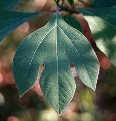Wonderful info on sassafras. I didn't know it is used as a low/no calorie sweetener. Also used for endocrine issues.