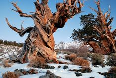 Methuselah, the oldest living tree on earth, 4,847 years old, that's some serious carbon locking...