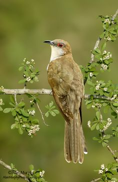 Black-billed Cuckoo (Coccyzus erthrophalmus) breeds in wooded areas across North America east of the Rockies.