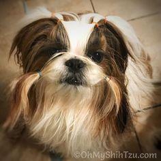 My sweetness... #shihtzulove #shihtzulovers #lovethatface #iflookscouldkill #dogsofinstagram