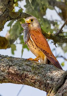 The Common Kestrel - Falco tinnunculus, occurs over a large range. It is widespread in Europe, Asia, and Africa, as well as occasionally reaching the east coast of North America. Photo by Eugenijus Kavaliauskas.
