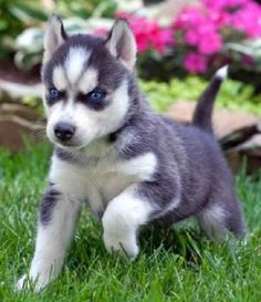 husky puppy with blue eyes - Αναζήτηση Google