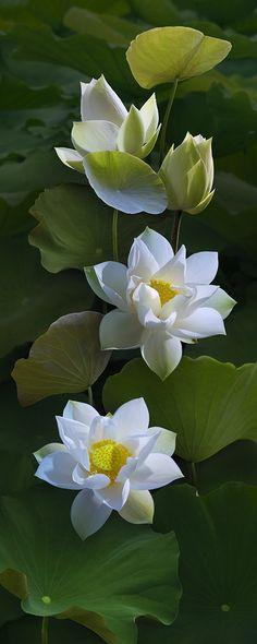 Seerosen - Teichrosen / Water Lilies - Nymphaea / Pond-Lily