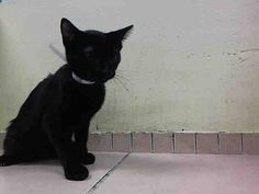 TO BE DESTROYED 11/26/14 * ADORABLE 4 MONTH OLD!! * Brooklyn Center * Chips was displaying friendly behavior; interacts with the Assessor, solicits attention, is easy to handle and tolerates all petting. *  My name is CHIPS AHOY. My Animal ID # is A1020502. I am a male black and white domestic sh mix. I am about 4 MONTHS old.   OWNER SUR on 11/13/2014 from NY 10452, COST.  Group/Litter #K14-201768.