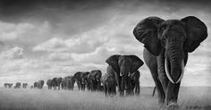 Magnífica By Nick Brandt. Amazing photos, and he does amazing things protecting wildlife in Africa.By Nick Brandt. Amazing photos, and he does amazing things protecting wildlife in Africa. Nick Brandt, Wild Life, Elephant Walk, Elephant Love, Elephant Parade, White Elephant, Elephant Family, Elephant Images, Elephant Meaning