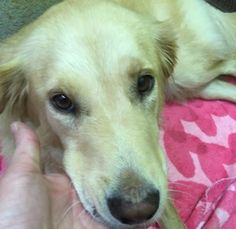 This is Lakelynn  a 2 yr old Golden mix. She was dumped by a lake and stayed nearby living at the lake until until a good sam rescued her. She is spayed, current on vacciantions. She is recovering from skin/ear infections. Adopt A Golden Knoxville, TN. - http://www.adoptagoldenknoxville.org/available_dogs_detail.asp?id=878&frame=3