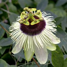 Passion Flower 'Panda'
