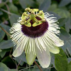 Passion Flower 'Panda' (Passiflora hybrid) www.logees.com  WANT THIS!!!