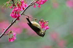 山櫻花--冠羽畫眉