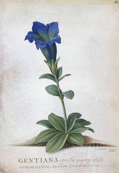 ehret flowers   Gentiana acaulis
