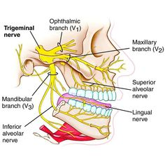 Looking for online definition of trigeminal nerve in the Medical Dictionary? What is trigeminal nerve? Meaning of trigeminal nerve medical term. What does trigeminal nerve mean? Dental Anatomy, Medical Anatomy, Human Anatomy, Facial Nerve Anatomy, Dental Hygiene School, Dental Assistant, Vagus Nerve, Nerve Pain, Trigeminal Nerve Branches