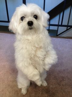 This is his ultimate dog trick. Usually works well when begging for food and asking for walks. Maltese Yorkie Puppy, Maltese Dogs, Havanese, Cute Puppies, Cute Dogs, Dogs And Puppies, Cute Babies, Most Cutest Dog, Dog Trick