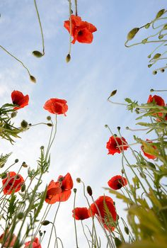 Just laying in a field of Poppies. Sounds nice.