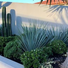 Architectural By Nature - Australia's premier grower ofadvanced cacti and xeriscape plants. Low Water Landscaping, Tropical Landscaping, Outdoor Landscaping, Tropical Garden, Outdoor Plants, Australian Native Garden, Australian Plants, Xeriscape Plants, Yucca Tree