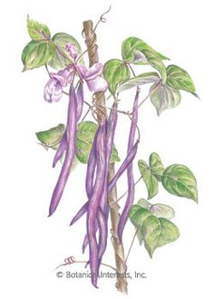 Bean Pole Trionfo Violetto HEIRLOOM Seeds, This Italian heirloom will surely win you over with its thin, crisp, flavorful purple pods. Highly ornamental plants have abundant lavender flowers that bloom against lush green leaves with purple veins and stems. Like other purple beans, the pods magically turn green when cooked! Plants are very productive; you'll be harvesting beans until late summer.