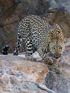 Kruger National Park, South Africa, gorgeous leopard