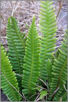 Irish ferns - Hard Fern