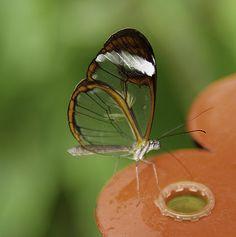 ROLY9774- Glasswing Butterfly (Greta Oto) 蝴蝶 나비 Mariposas farfalle チョウ Бабочки 轻便铁路蝴蝶站