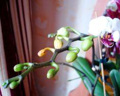 Причины опадания бутонов у орхидей Орхидея – прекрасное и удивительно красивое растение. Поклонники этого цветка ждут каждый новый бутон с большим нетерпением, чтобы насладиться его красотой и великол…