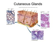 Sweat or sudoriferous glands include apocrine and merocrine glands. Apocrine glands are deep in the dermis and secrete through ducts on the hair follicle. They are found in the armpits and groin areas and produce an odor. Merocrine glands are widely distributed over the body and secrete through pores on the epithelial surface. Sebaceous glands are associated with the roots of hair just underlying the epidermis and produce an oil secretion of sebum into the hair follicle.