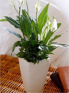 Peace Lily. Thought to be good luck, the peace lily will be happiest out of direct sunlight and in a warm room. Peace Lily plants are proven to improve air quality by absorbing common pollutants such as Benzene as well as toxins emitted from synthetic carpeting and plastics.