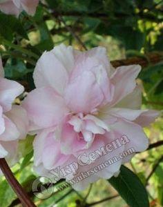 Калистегия Flore Plena 1 корневище