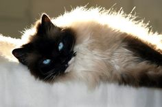 Tips When Caring For Your Ragdoll Cat
