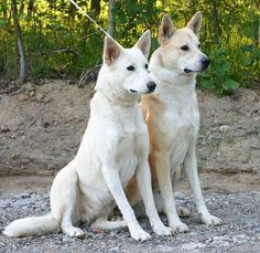 Interested in getting a Canaan Dog? See pictures and learn about its size, personality, health, costs of ownership, and more.