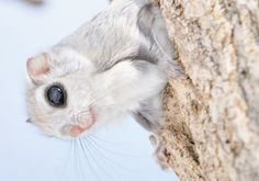 The Siberian Flying Squirrel photographed by Masatsugu Ohashi can be found in Russia, China, and Japan, as well as a few other countries. They tend to live in spruce, cider, or pine trees and they depend on the trees for their housing and food. Siberian flying squirrels are currently listed as near threatened and they are rapidly decreasing due to deforestation of the trees they so fully rely on