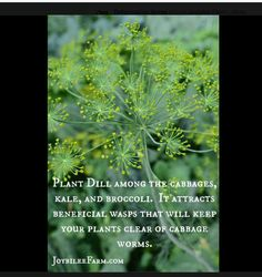 She sprinkle dill seeds in the same row with her cabbage and they grew up together to kep cabbage worms away.