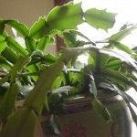 You've been caring for it all year and now that it's time to expect winter blooms, you find the leathery leaves wilted and limp on your Christmas cactus. Why? Find out in this article and fix your limp Christmas cactus.