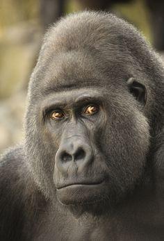 #gorilla Copyright Detlef Knapp