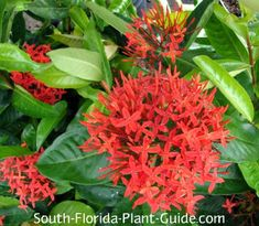 Super King ixora bush: beautiful 3-5 ft tall evergreen; full or part sun location