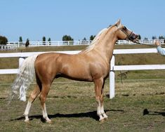 Just a nice horse, not a number! Majestic Horse, Most Beautiful Animals, All The Pretty Horses, White Horses, Horse Breeds, Horse Love, Horse Art, Show Horses, Animal Kingdom