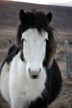 Beautiful Icelandic Pony