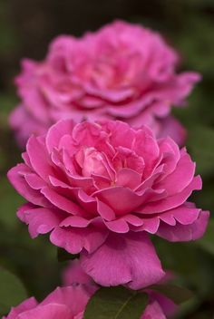 'Pink Peace' | Hybrid Tea Rose. Bred by Francis Meilland (France, 1958)| Flickr - © NYBG, Photo by Ivo M. Vermeulen